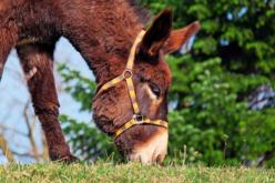 Mules vs. Horses