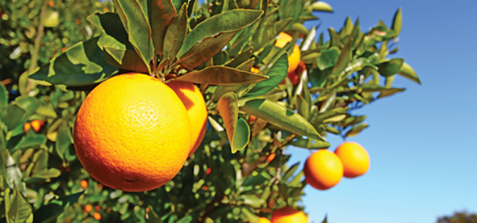 Piecing Together the Puzzle of the Citrus Genome