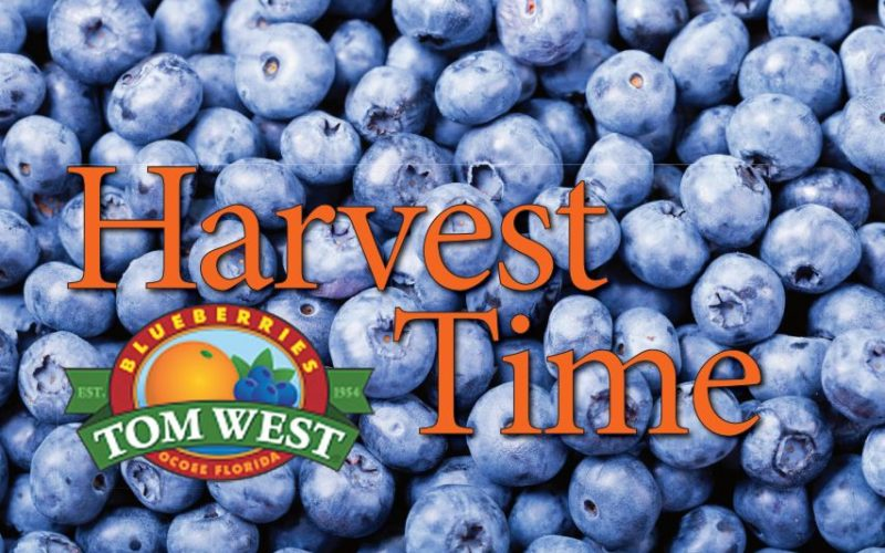 Harvest Time: Catching up With Tom West Blueberries