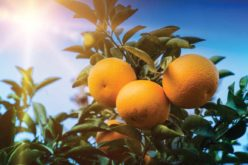 Scientists Using Fungus to Manage Asian Citrus Psyllid