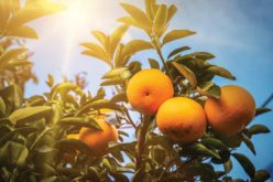 Living with Greening, Citrus Growers Still Expecting Good Crop