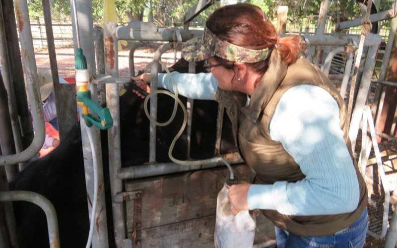 The Art of Cattle Handling