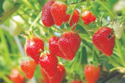 Brilliant! 2019 Florida Strawberry Update