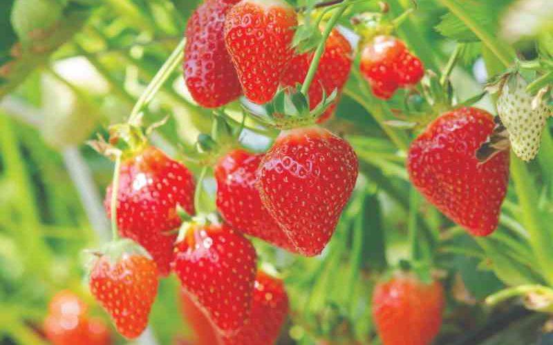 Brilliant! 2019 Florida Strawberry Update