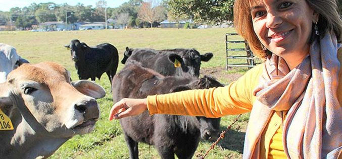 Beef Cattle Getting Genetic Makeover