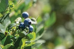 Florida's Blueberry Harvest Recap