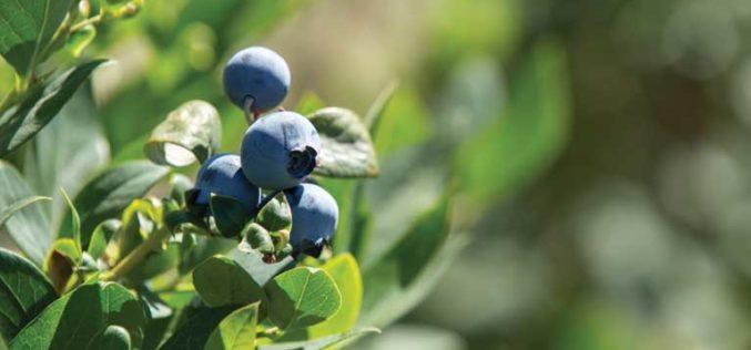 Florida's Blueberry Harvest Recap