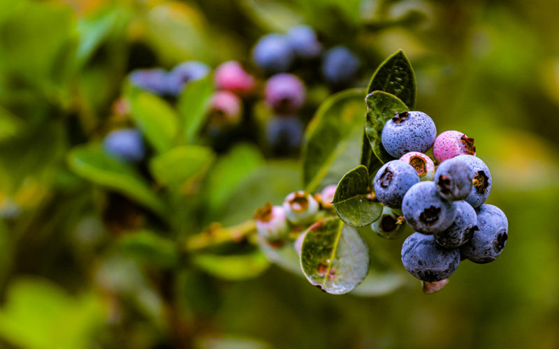 Florida's Rich Blueberry History