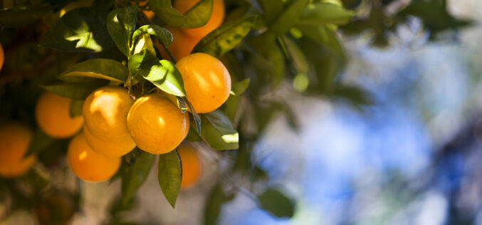 2020-2021 Citrus Forecast