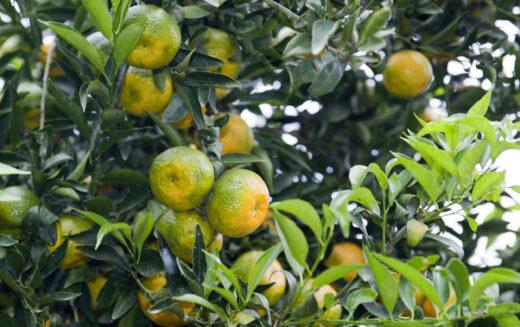 Citrus Challenge