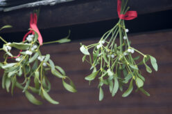 Mistletoe Musings