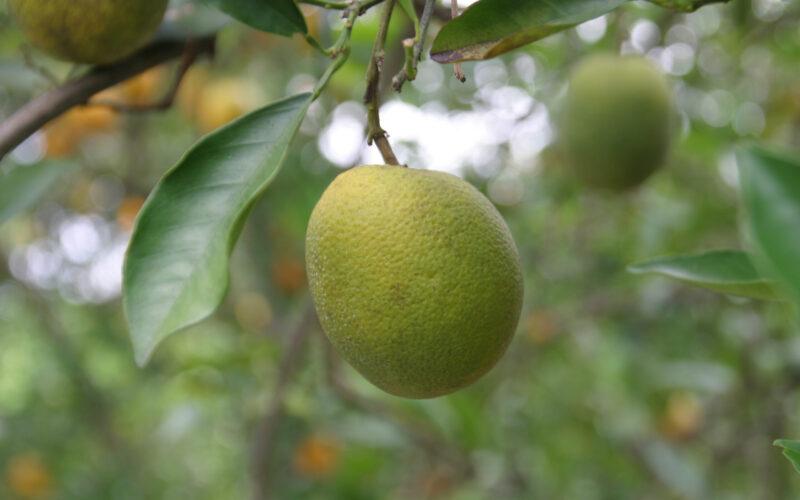 New Hope for Citrus?