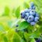 Blueberry Rebound